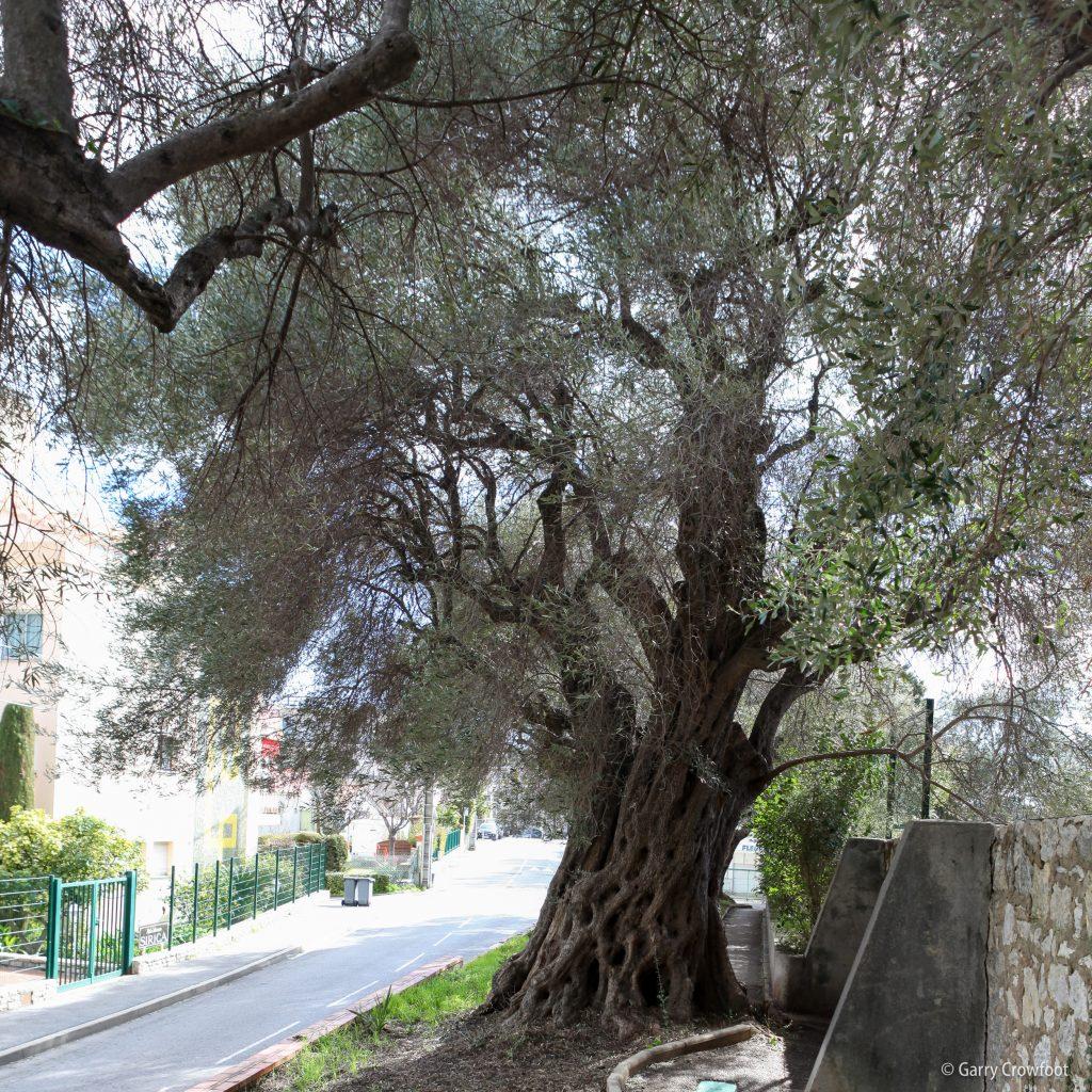 Olivier chemin du Puy Antibes